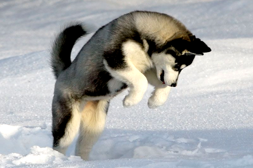 Cute-Husky-Playing-In-The-Snow-100-Real-allsoppa-25713502-500-333